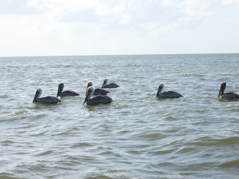 Brown Pelicans on Gulf of Mexico