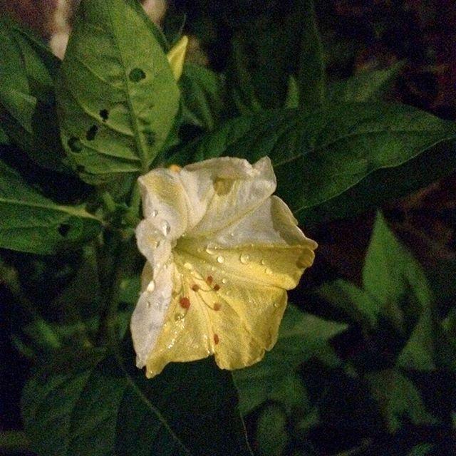 mirabilis flower