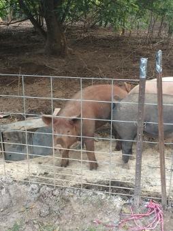 cinnamon pig