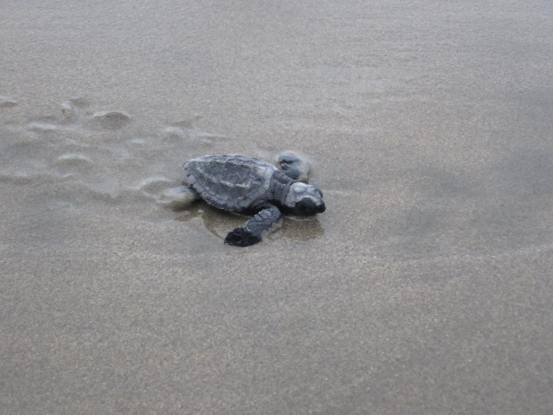 sea turtle released
