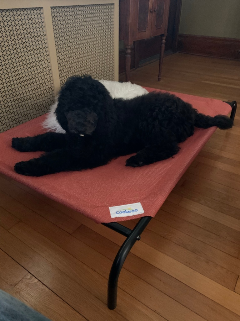 Black poodle on dog cot